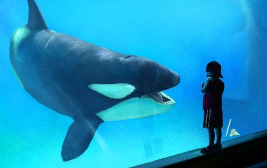 Killer whales in captivity vs wild - photo#45