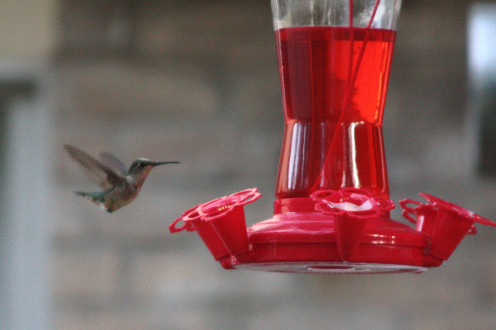 Female Ruby-throated Hummingbird and Store Bought Nectar.