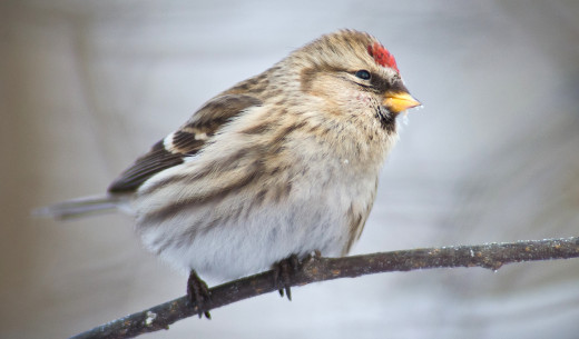 Mealy Redpoll Acanthis flammea, female; Kotka, Finland
