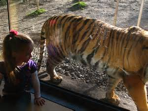 Get close up to several tigers, and new cubs!
