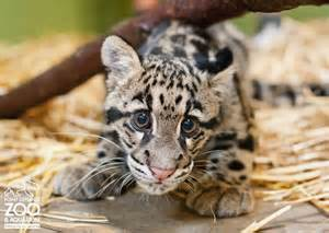 Cute baby leopards