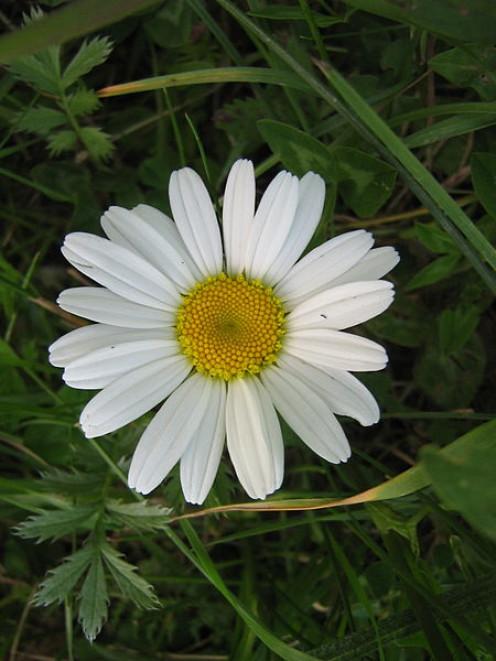 A sweet little chamomile flower.