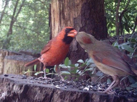 During courtship, male cardinals feed tidbits to their mate. He also takes over raising the first brood when they leave the nest.