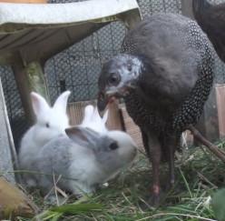 How to Raise Free Range Rabbits