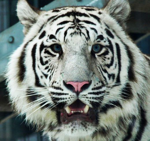 This zoo features four large Bengal tigers of the same family, two orange, and two white. Bengal tigers are some of the largest of the tiger species. The tiger exhibit allows close-up viewing from multiple angles.