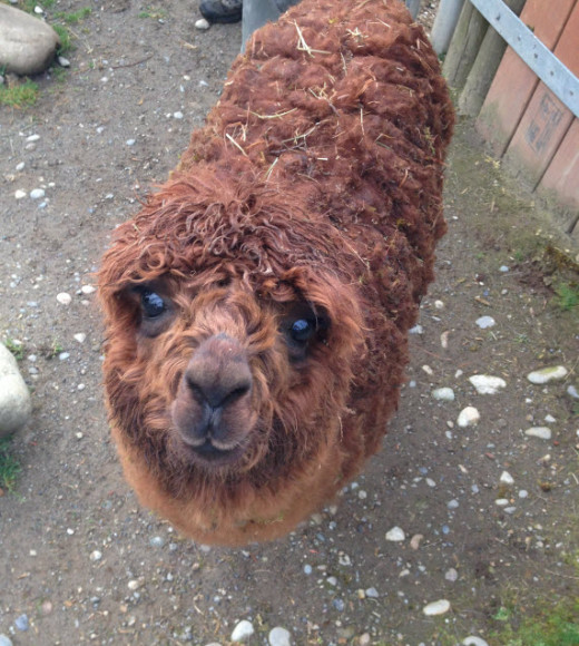 Several cute alpacas roam on the side of a hill and love for you to feed them. Some of them are quite goofy characters.