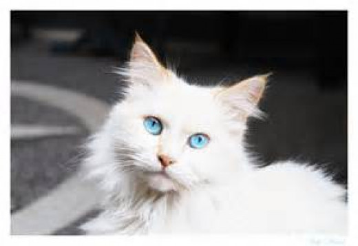 """Mama Silly"" our beautiful blue eyed princess. RIP Silly 1996 to 2000. Cause of death, unknown at 4-years."