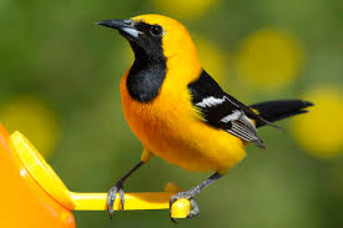 A hooded oriole, Icterus cucullatus, boldly and noisily ambushes the hummingbird feeder then swiftly retreats to nearby cover.