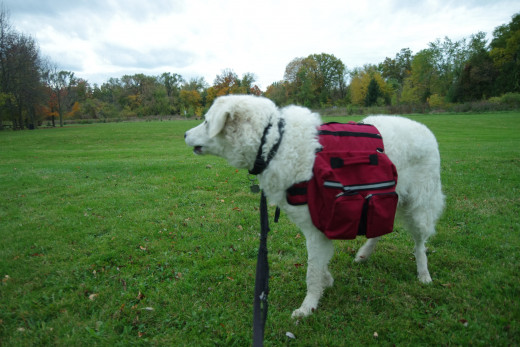 K2, the Great White Kuvasz, gets up as a warning to a coyote that was present in the vicinity.