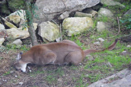 A cougar is more than a match for a single medium, large, or even a giant size dog.