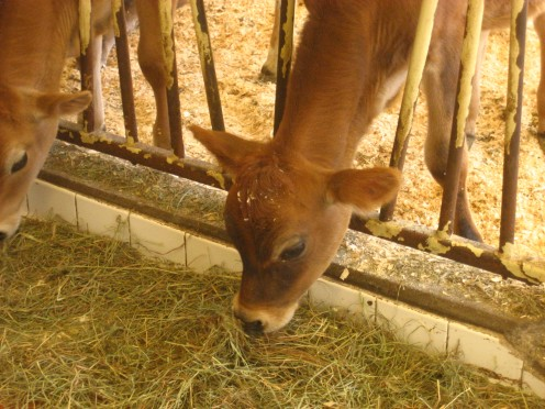 baby calves at Billings Farm