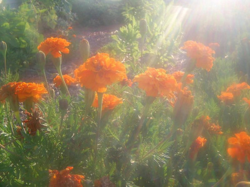 Marigold flowers are used in some herbal teas, like with Tazo's chamomile blend.