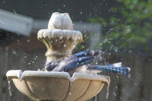 Blue Jay Splish Splash