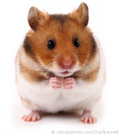 Are You Ready to be a Hamster Parent?