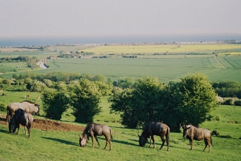 Wildebeest herd on Coombe Farm, Port Lympne, with a view of Romney Marsh and the English Channel.
