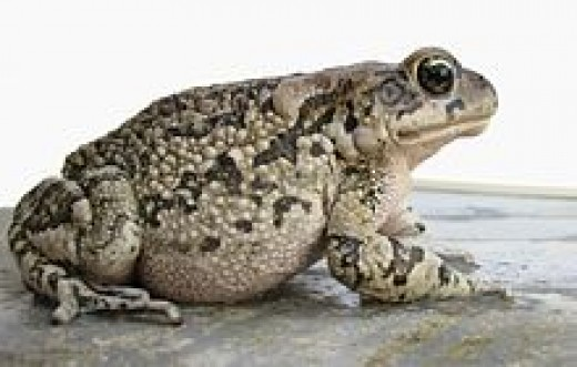 Toads were often used in old witchcraft practices.