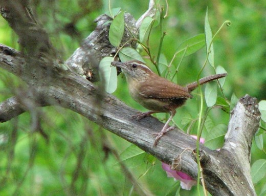 Both male and female Carolina wrens care for the young. The male captures thousands of insects to feed the growing chicks.