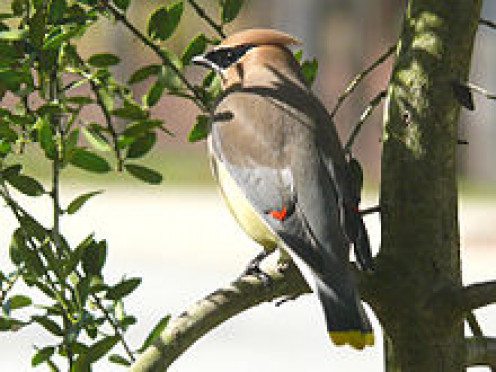 The interviewee feels a deep connection with birds, often going birdwatching. Pictured is a cedar waxwing (Bombycilla cedrorum).