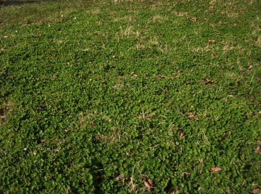 Subterranean Clover Growing in Bermuda grass Sod on our farm in North Central Arkansas. This picture was taken on January 23rd, 2012 (2012 was a very mild winter.)   The clover was planted in 1966.