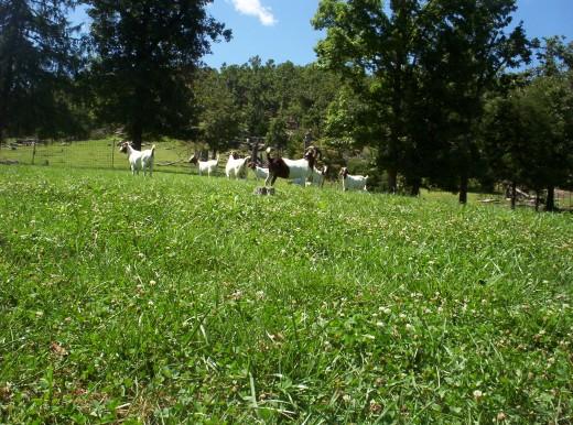 Meat Goats Grazing Durrana White Clover and Max-Q Fescue