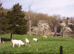 Forages for Meat Goats
