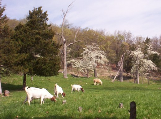 Meat Goats Grazing Max-Q Tall Fescue
