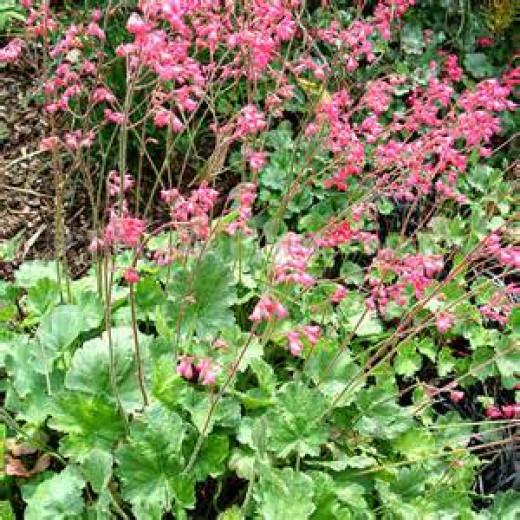 Heuchera with pink flowers