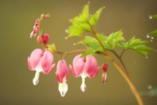Bleeding Hearts are hardy in zones 3 through 9 and are not eaten by deer