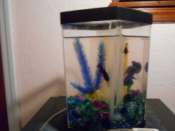 Owning Betta Fish