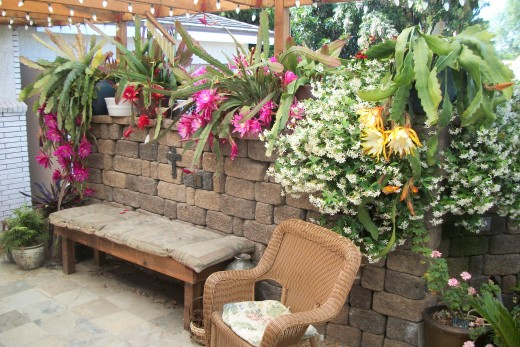 My Patio, Orchid Cactus and Star Jasmine. I keep a lot of ornamental plants. This is my front patio, early spring.