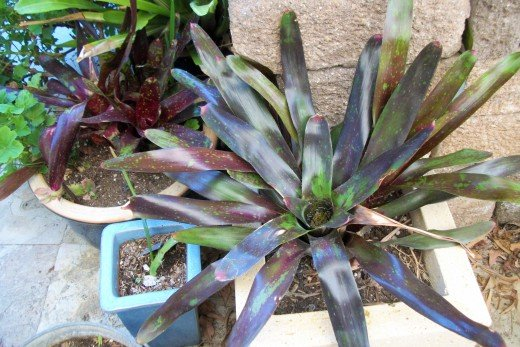Neoregelia (Bromeliad). Yes, I put a lot of organics into every soil mixture even in pots.