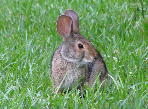 Is this Georgie or perhaps Mother or Father Rabbit. Or could it be Thumper or maybe even the Velveteen Rabbit?