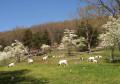 Feeding Meat Goats
