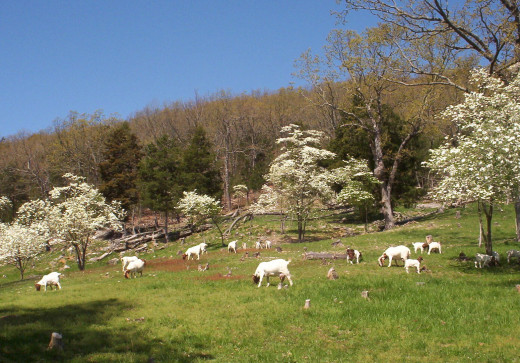 Goats on good quality pastures will be healthier, and their kids will grow faster.