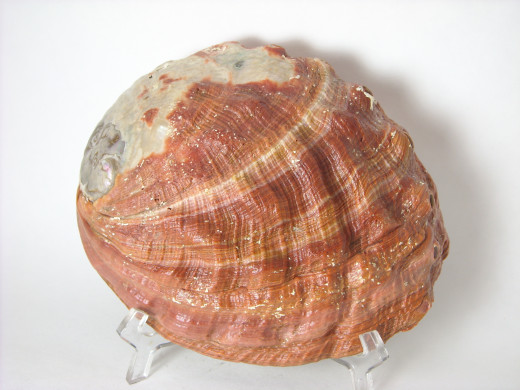 Abalone 2 Top