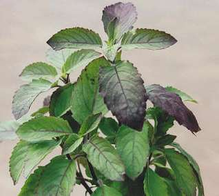 Thai Basil has a bright citrus, mint, and grassy flavor. Good for use in baking and flavoring vinegars and oils. Used in Asian cooking