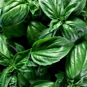 Sweet Basil is used for making dried Basil.Has a licorise and strong herbal flavor. Preferred for us inItalian dishes; such as, pesto, pizza, and tomato sauces.
