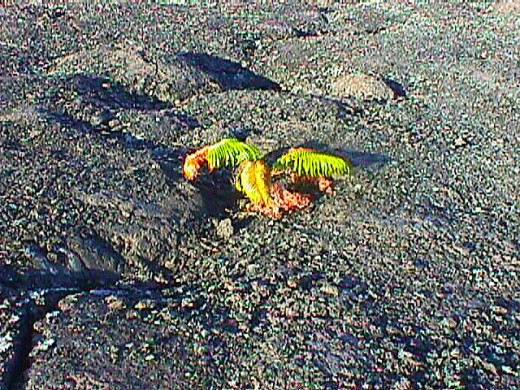 Sorry for the low res on this, but it is my photos from 1998, more than a century ago in digital terms. The ferns are growing in the flows of Mono Loa. The leaves die, break down into acids, and break down the lava into soil.