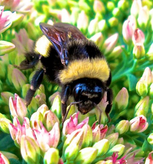 Bee Macro Photography