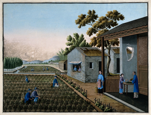 A tea plantation in China with women picking and sifting tea.