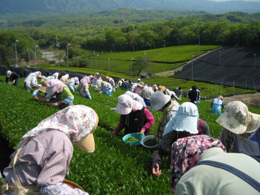 People picking tea in a field.