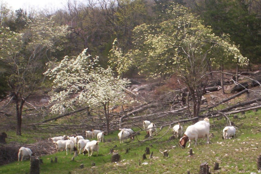 Meat Goats Grazing Sprouts and Newly Seeded Fescue and White Clover on Land Cleared With a Chain Saw. The fallen trees will be cut up for firewood. The goats will kill the sprouts. The stumps will be removed by termites in three to five years