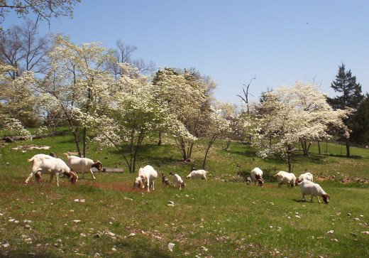 Meat Goats on Pasture