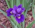 Iris: Siberian Iris