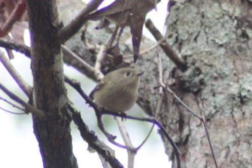 Ruby-Crowned Kinglet flittering through the trees. Not an easy catch as they move fast.