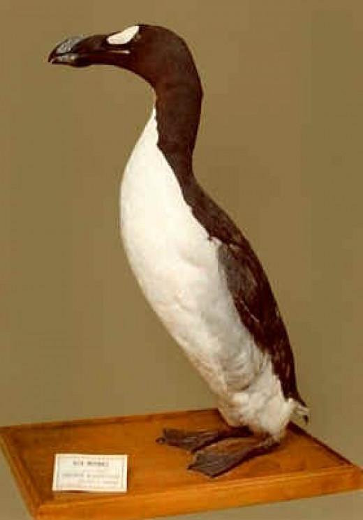 A great auk specimen in Brussels, Belgium