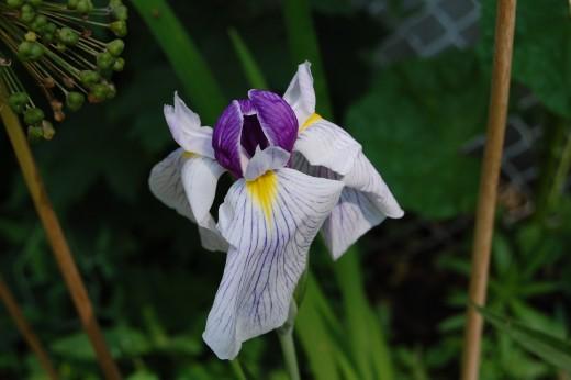 Bicolor Japanese Iris