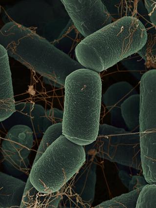 Methanobacteriales