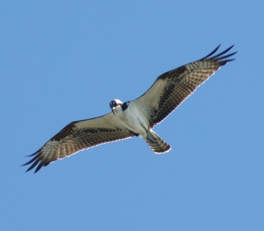 Osprey-only raptor found in both SA and the USA