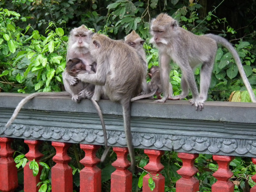 Residents of the Monkey Forest Temple